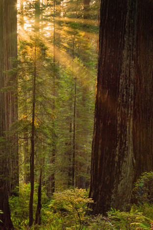 California Redwoods 4.jpg