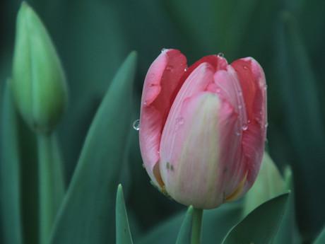 Beautiul Tulips