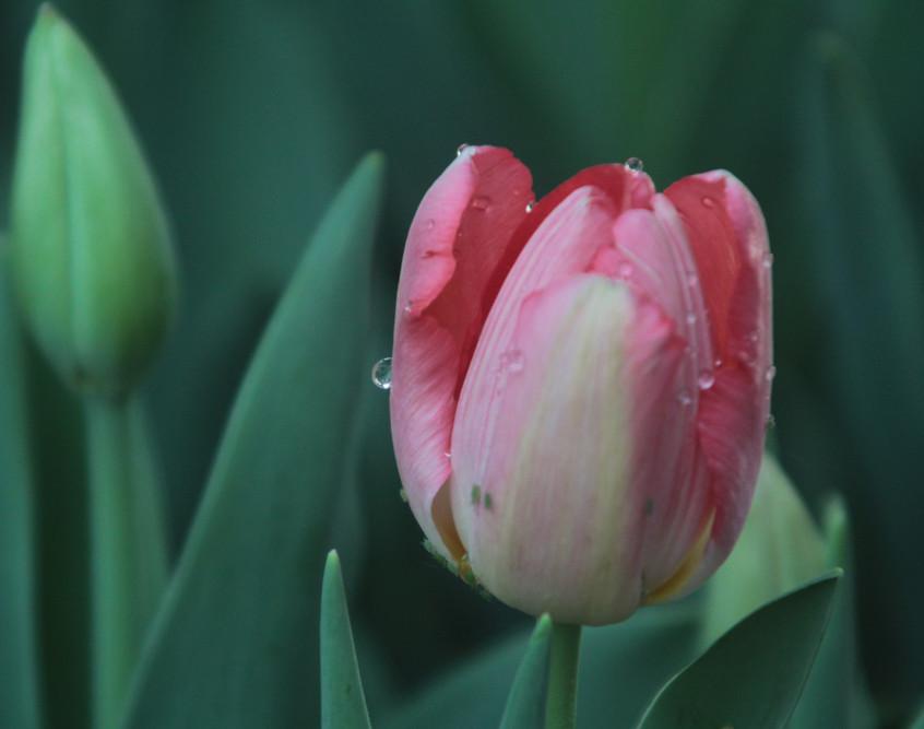 Dewy Pink Tulip