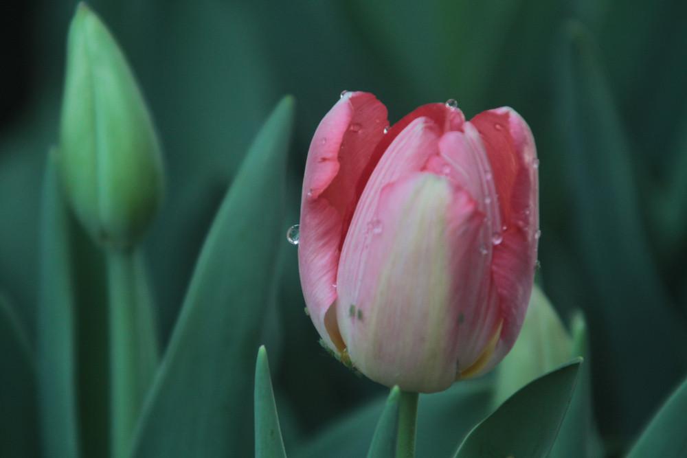 Zroszone Różowy tulipan
