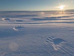 В нацпарке «Русская Арктика» идут масштабные работы по изучению белого медведя