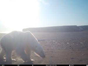 Фотоловушке нацпарка «Русская Арктика» удалось зафиксировать выслеживание белым медведем моржа