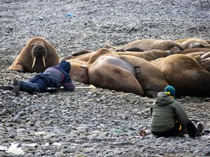 Нацпарк «Русская Арктика» и WWF России объявили конкурс на лучший рисунок моржа для нового мерча