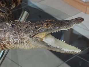 Красноярский турист привез из Вьетнама чучело крокодила. Как выяснилось -  незаконно!