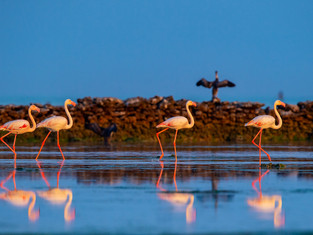 Фламинго слетаются в Катар на зимовку