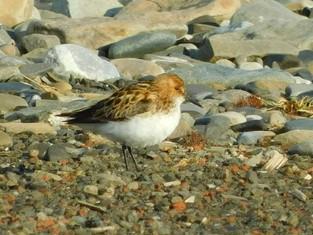 В национальном парке «Русская Арктика» вновь зафиксировали редкие виды птиц