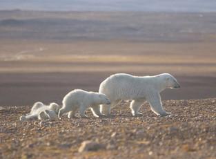 Фотография «Жаркое солнце Арктики» признана одним из лучших снимков дикой природы России