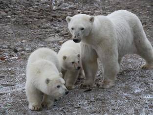 История Умки: Полярники «Русской Арктики» стали свидетелями воссоединения семьи белых медведей