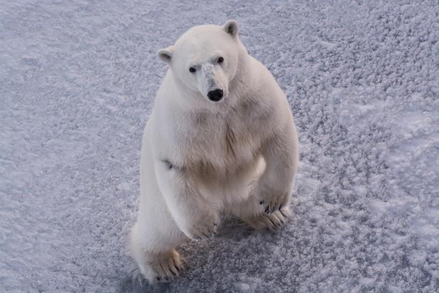 Белый медведь. Фото - ОАО НК РОСНЕФТЬ.jpg