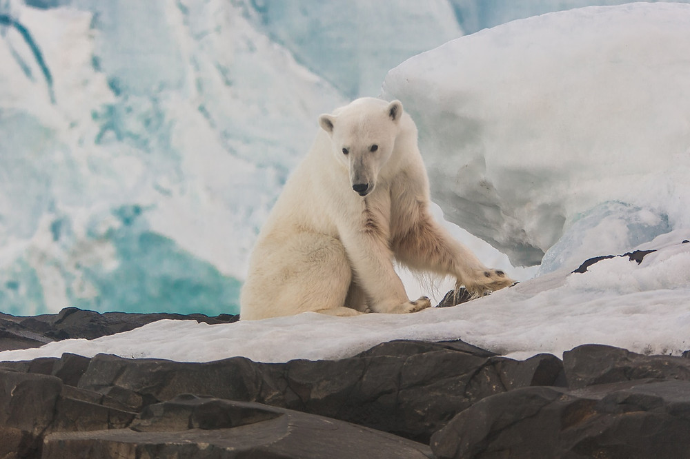 Белый медведь. Остров Рудольфа. Фото - Н. Гернет.jpg