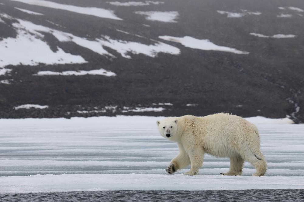 Белый медведь в заливе Географов, ЗФИ. Фото - Александр Кулешов
