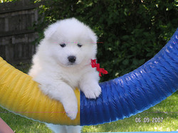 agility-TW-puppy-tire