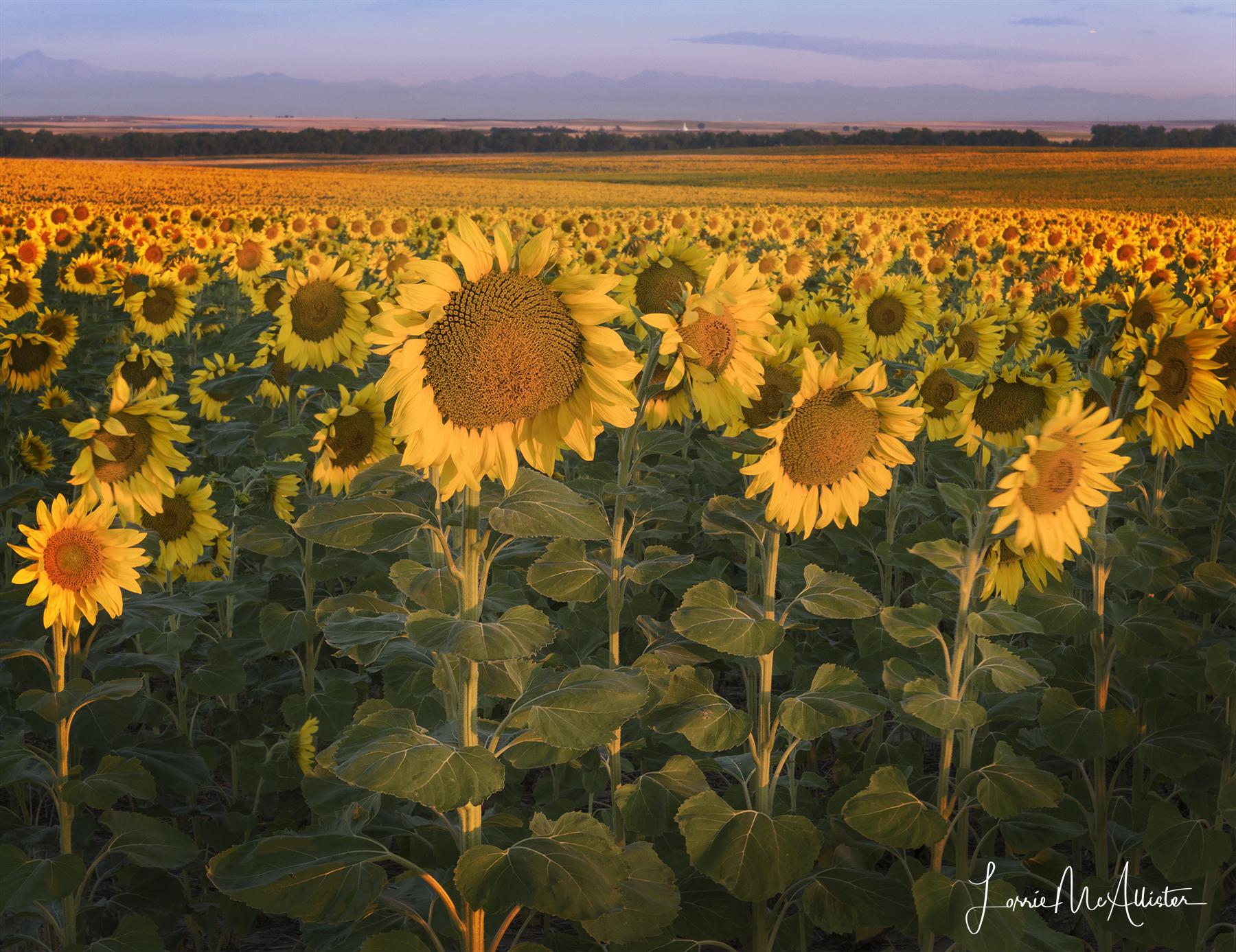 _DSC3651_sunflowers_lum-mask copy