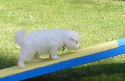 agility-TW-dogwalk-pup