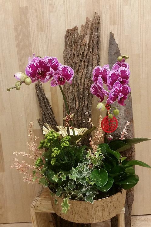 (蘭花)盆栽004