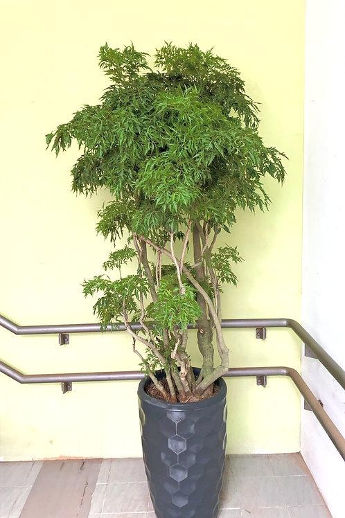落地款盆栽 富貴樹024