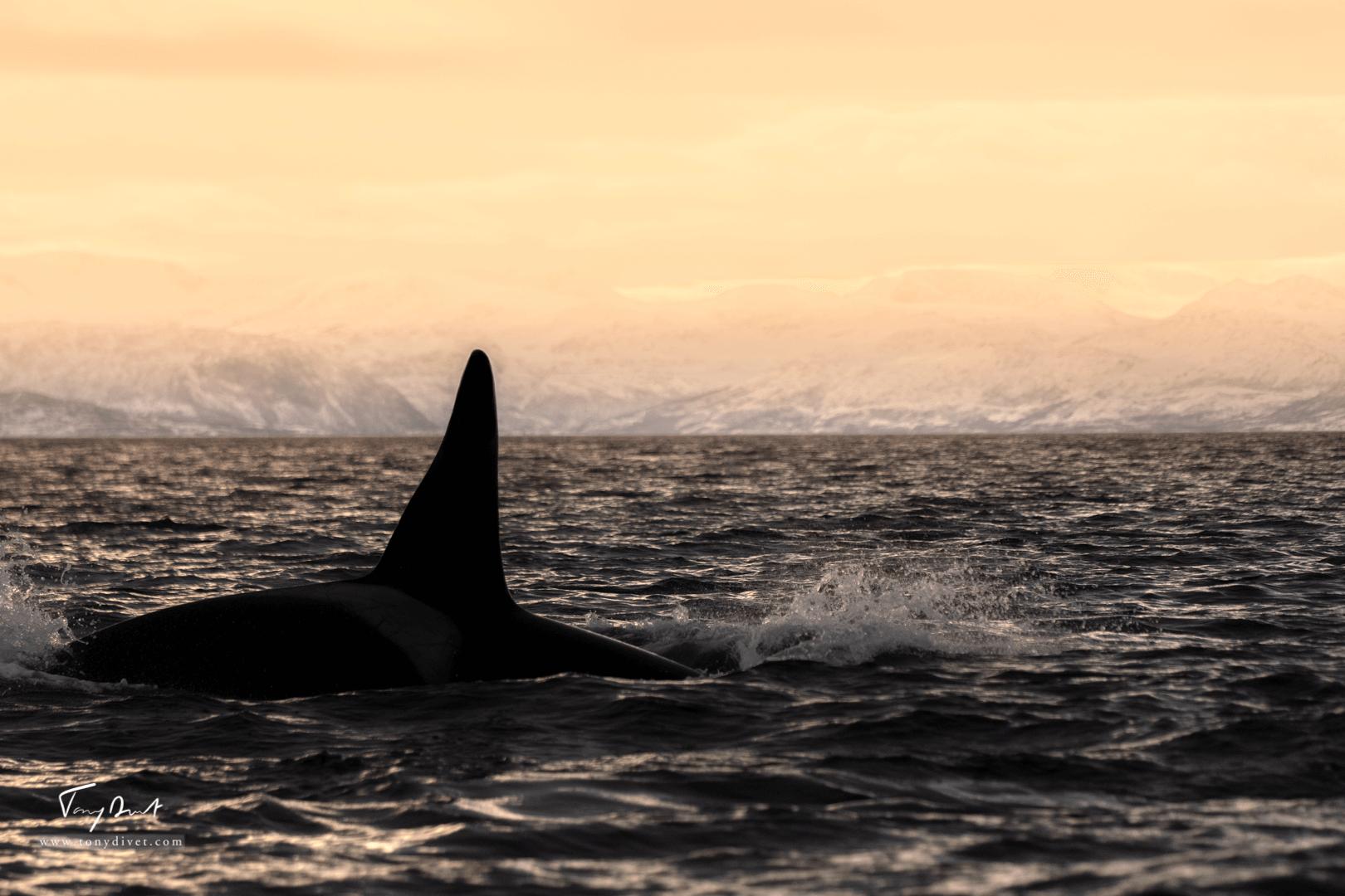 Orca-0879