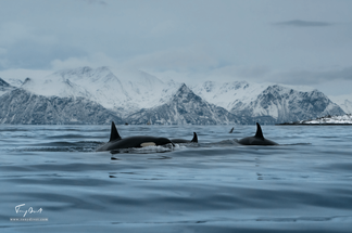 Orca-2.png