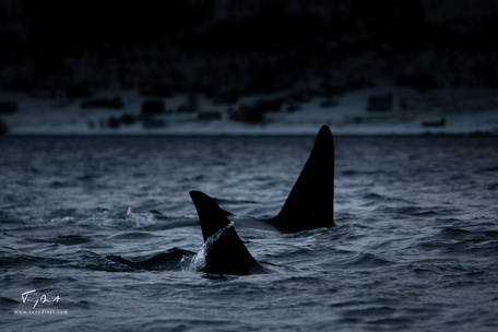 Orca-0838.png