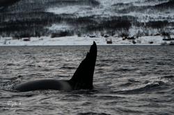 Orca-0828