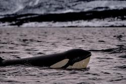 Orca-1099