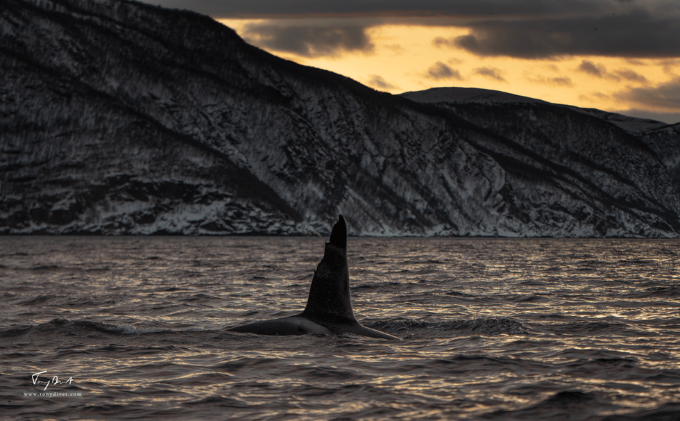 Orca-0898.png