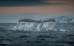 Orca-8481