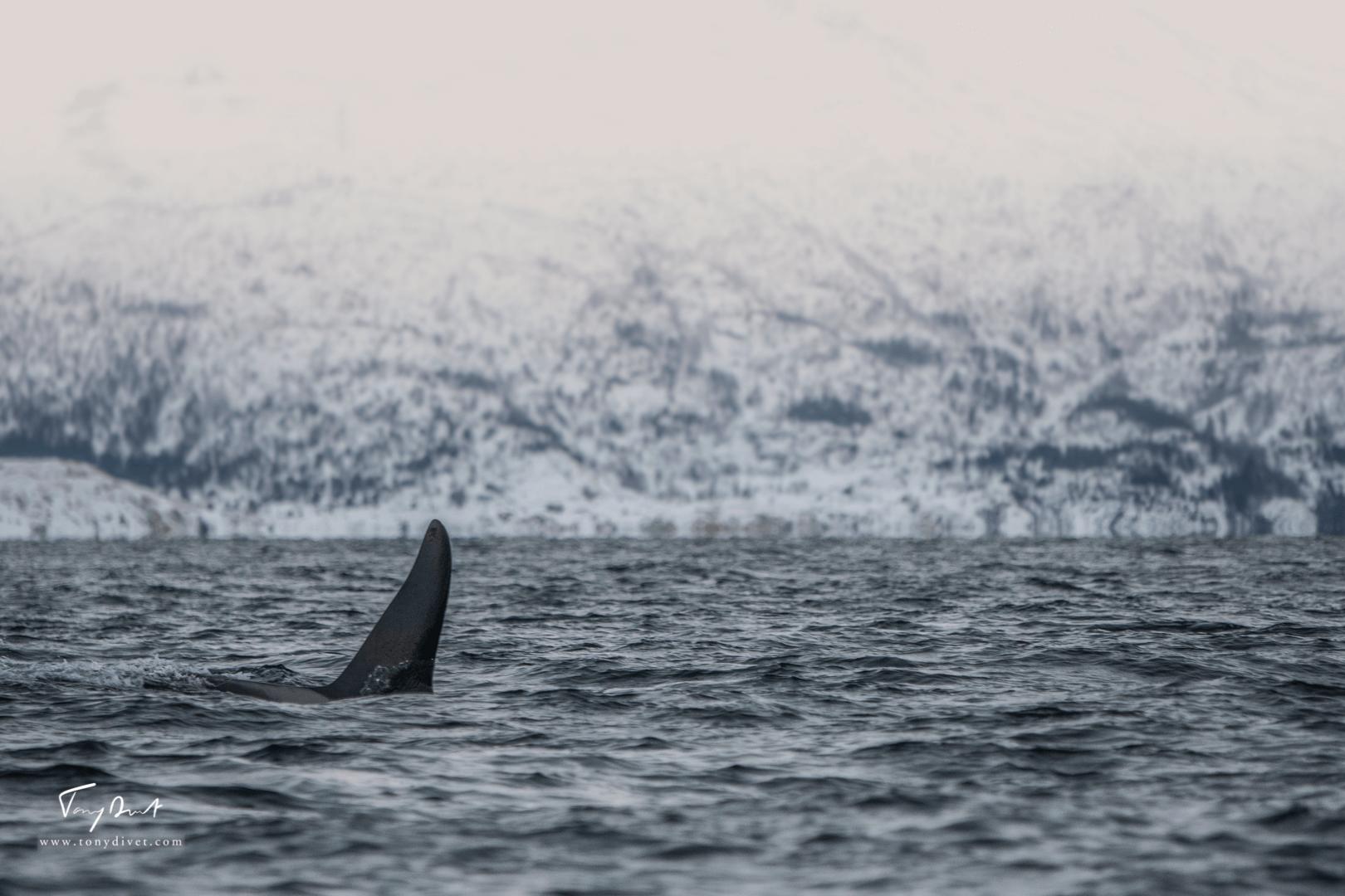 Orca-8984