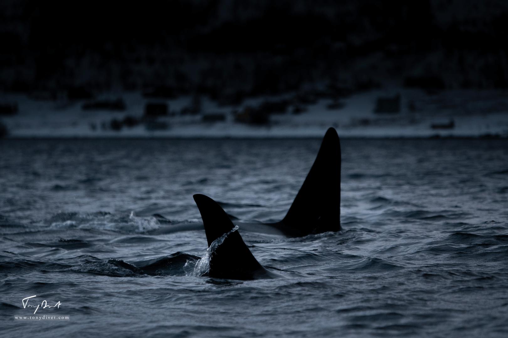 Orca-0838