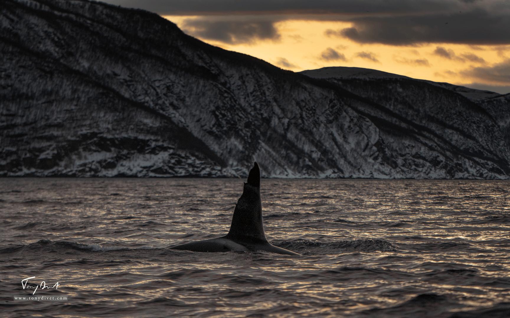 Orca-0898