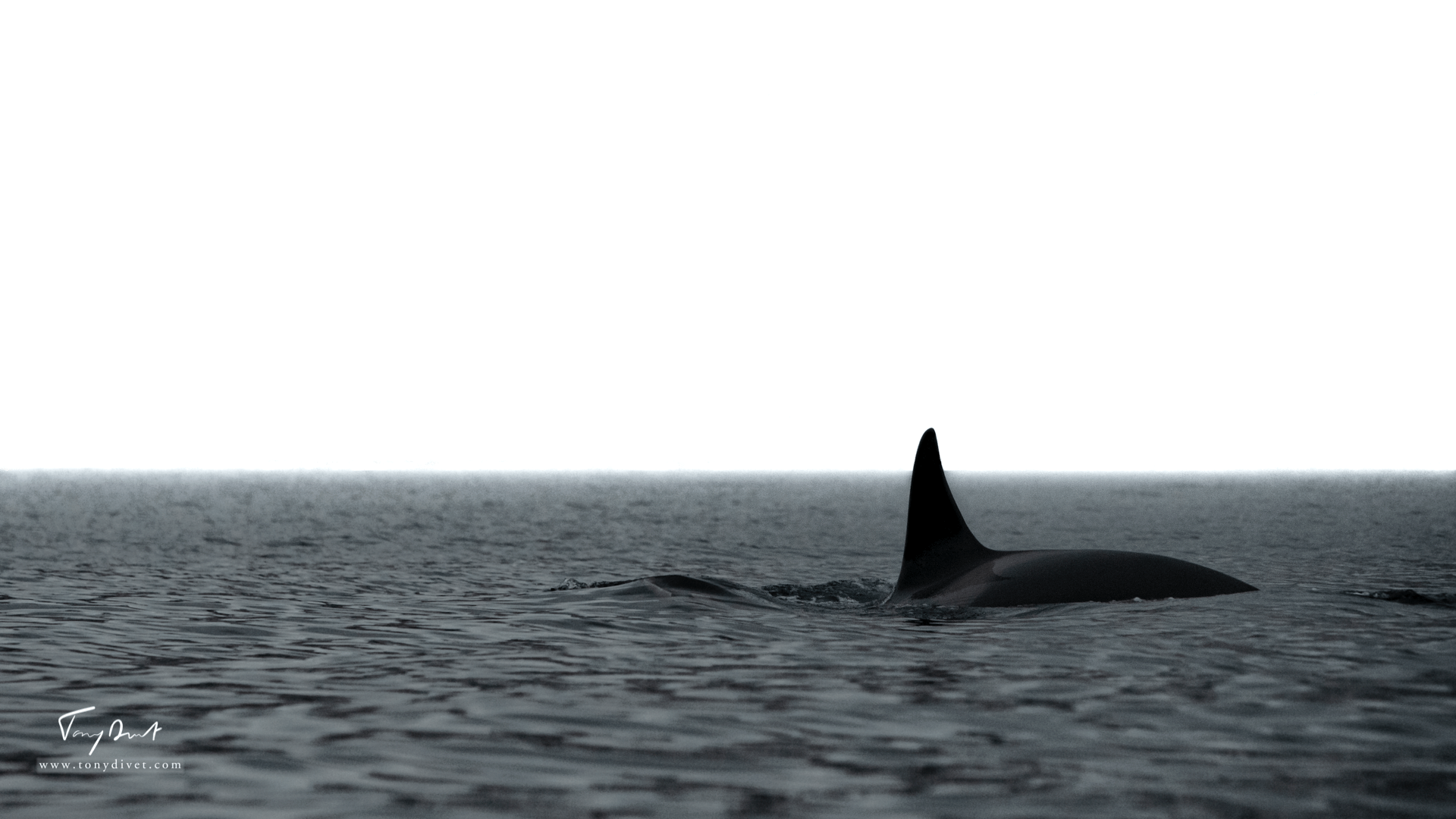 Orca-9311.png
