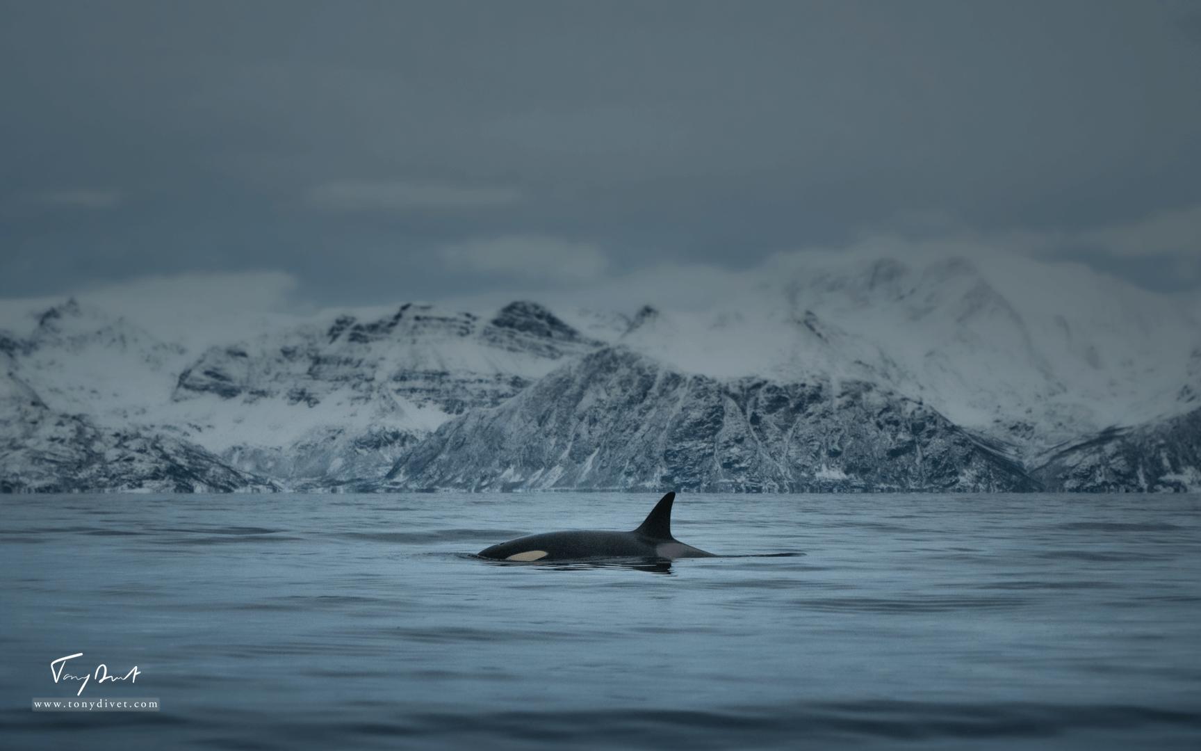 Orca-9924