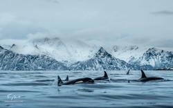 Orca-9696
