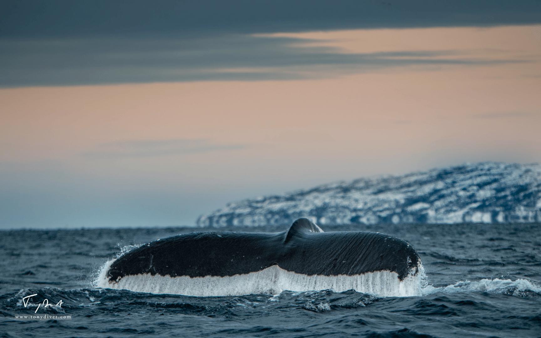 Orca-8479