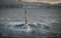 Orca-
