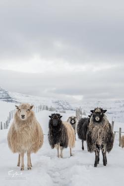 Faroe Islands-3512