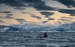 Orca-8392