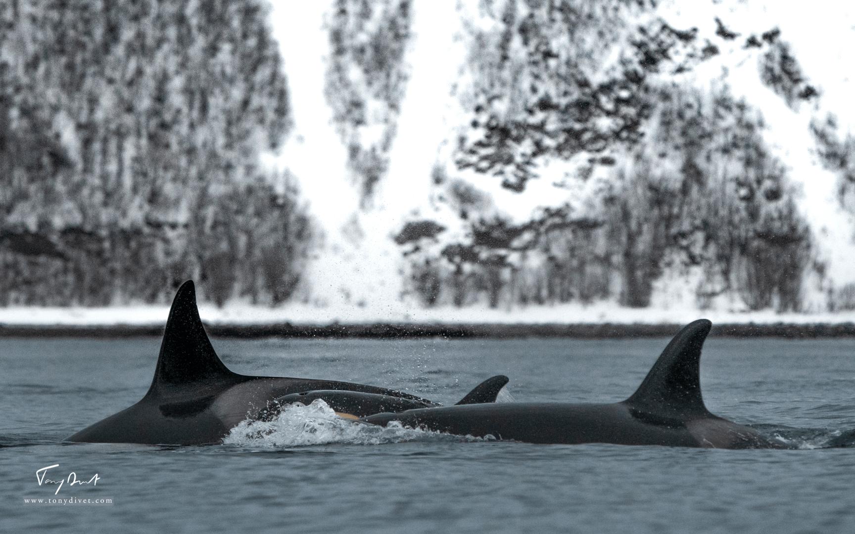 Orca-9438