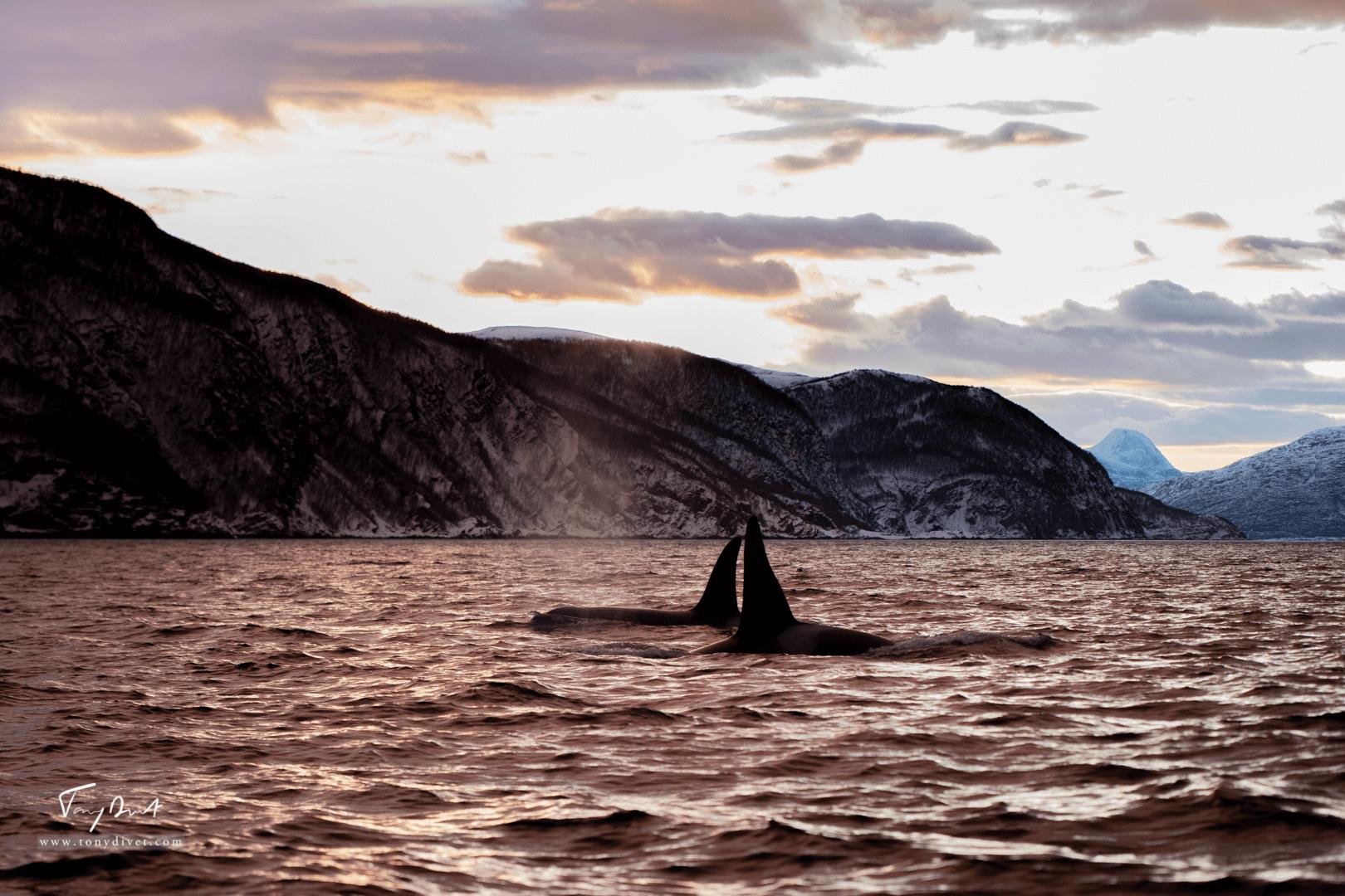 Orca-1219