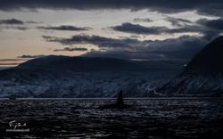 Orca-1467