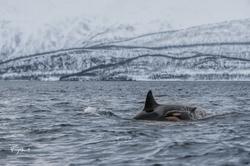 Orca-1701