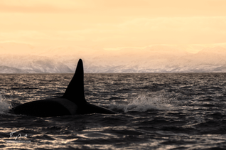 Orca-0879.png