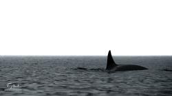 Orca-9311
