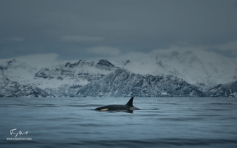 Orca-9924.png