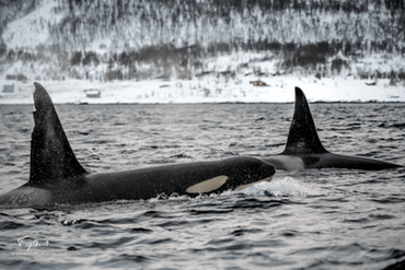 Orca-0772.png
