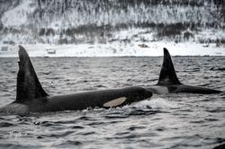 Orca-0772