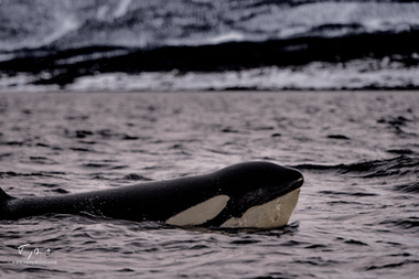 Orca-1099.png