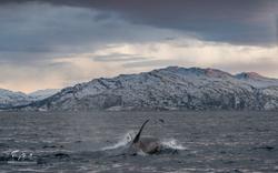 Orca-1491