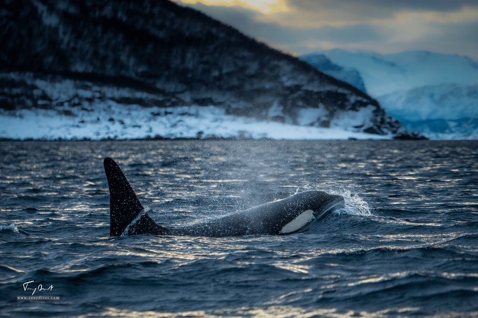 Orca-0742.png