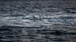 Orca-7814